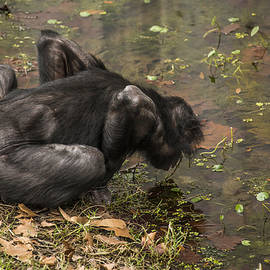 Awareness Of Self Chimpanzee by Paula Porterfield-Izzo