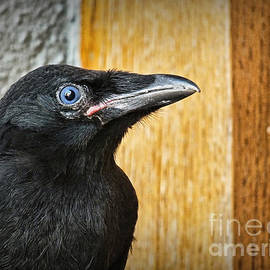 Baby crow sitting quietly outside apartment doorway in British Columbia by Murray Webb