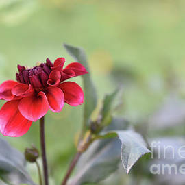 Baby Dahlia All Aglow by Lois Bryan