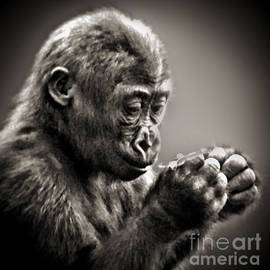 Baby Gorilla Studying What He's Holding in His Hands  by Jim Fitzpatrick