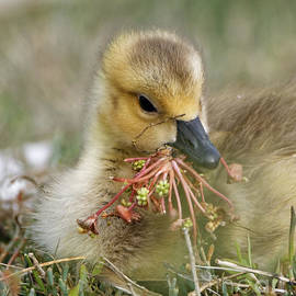 Baby Gosling Collecting Flowers by Sue Harper