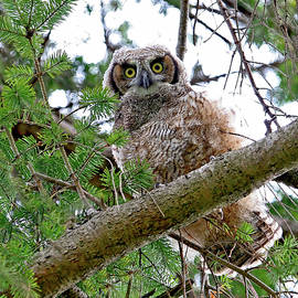 Peggy Collins - Baby Great Horned Owl