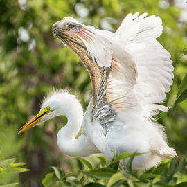 Patti Deters - Baby Great White Egret - Testing Wings