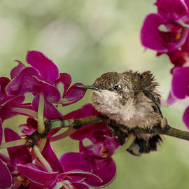 Patti Deters - Baby Hummingbird and Orchid