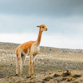 Baby Llama  by Alexandre Rotenberg