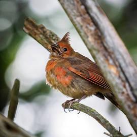 Baby Northern Cardinal by Bob Orsillo