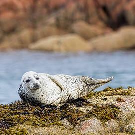 Mr Bennett Kent - Baby Seal in Mull, Scotland