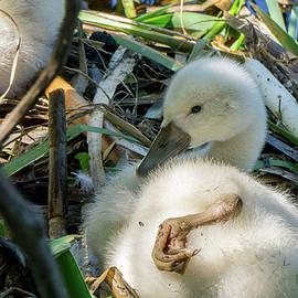 Linda Howes - Baby Swan Resting
