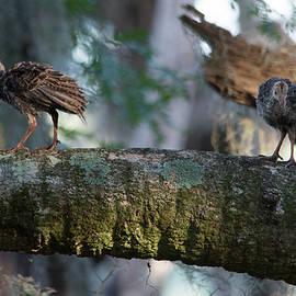Patricia Twardzik - Baby Turkey Chicks on a Bough