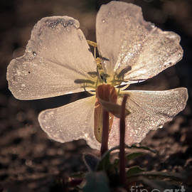 Back Lighting Evening Primrose by Robert Bales