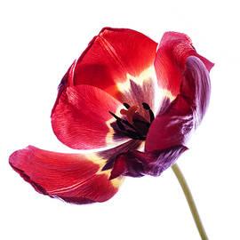 Vishwanath Bhat - Back lit red tulip on white background