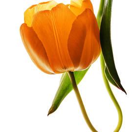Vishwanath Bhat - Back lit yellow tulip on white background