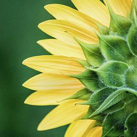Don Johnson - Back of a Sunflower
