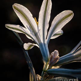 Robert Bales - Backlit Ajo Lily