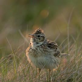 Backlit  Eurasian Skylark by Darren Wilkes
