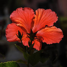Backlit Hibiscus by Robert Bales