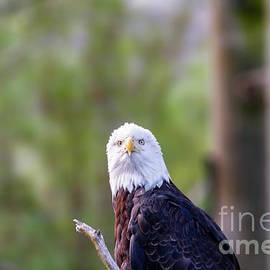 Bald eagle 1 by Viktor Birkus