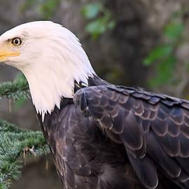 Charles HALL - Bald Eagle 2