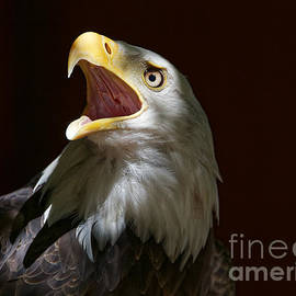 Sue Harper - Bald Eagle - Call of the Wild