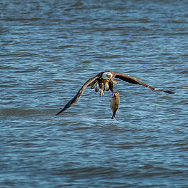 Patrick Wolf - Bald Eagle catching a large fish