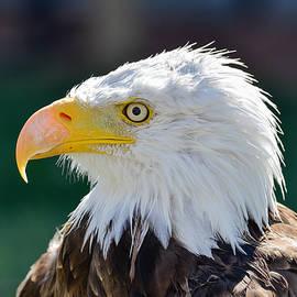 Bald Eagle Closeup by Dwayne Schnell