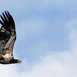 Bald Eagle Fledgling by Debbie Oppermann