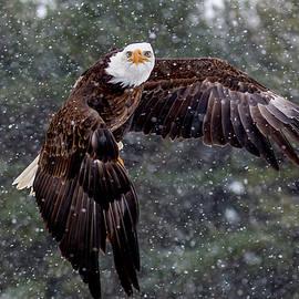 Bald Eagle in Flight by Bill Lindsay