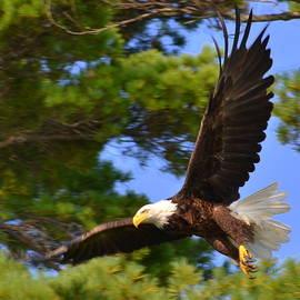 Colleen Phaedra - Bald Eagle
