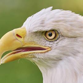 Jim Hughes - Bald Eagle in profile