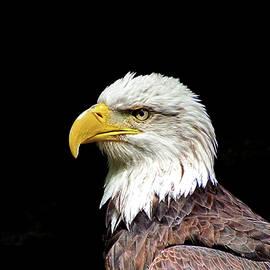 John Trommer - Bald Eagle