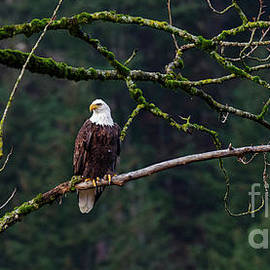 Bob Christopher - Bald Eagle Ready To Hunt