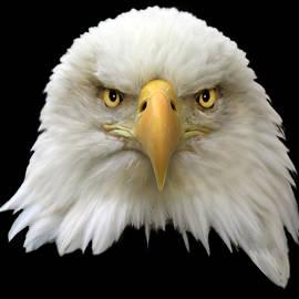Bald Eagle by Shane Bechler