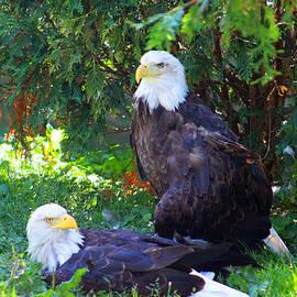 Michael Rucker - Bald Eagles