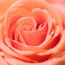 Diann Fisher - Ballet Pink Satin Rose