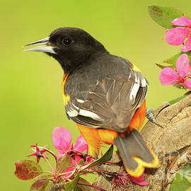 Max Allen - Baltimore Oriole Among Apple Blossoms