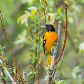 Baltimore Oriole by Gina Levesque