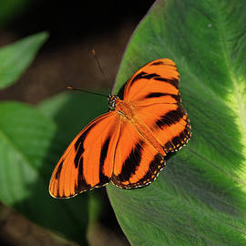 Banded Orange Butterfly on leaf by Ronda Ryan