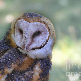 Barn Owl 2 by Teresa Zieba