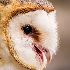 Don Johnson - Barn Owl