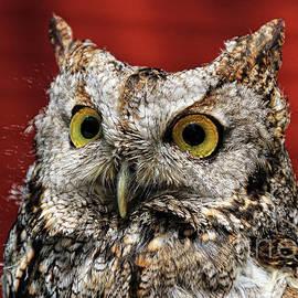 Anna Sheradon - Barred Owl Portrait
