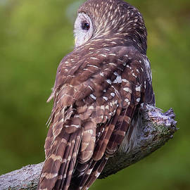 Sharon McConnell - Barred Owl Back View