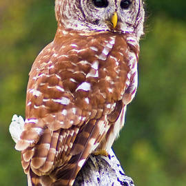 Barred Owl by Bill Barber
