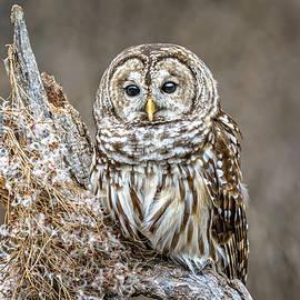 LeeAnn McLaneGoetz McLaneGoetzStudioLLCcom - Barred Owl Landscape