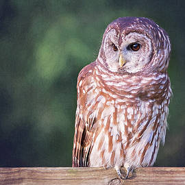 Barred Owl On Fence by Sharon McConnell