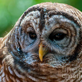 Barred Owl by Stephen Whalen
