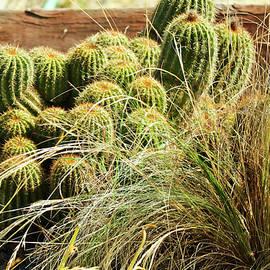 Joyce Dickens - Barrel Cacti