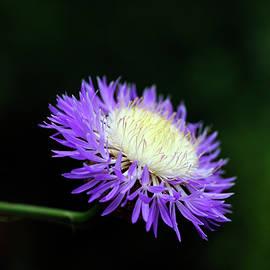 Bill Morgenstern - Basket-Flower