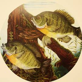 Basking Bluegills by Bruce Bley