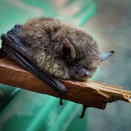 Bat Rehoused by Jean Noren