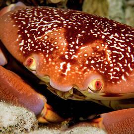 Batwing Coral Crab Closeup